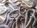 Trung Quốc ngưng mua, nông dân miền Tây lao đao ôm rắn