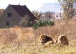 Nhà nghỉ thả 77 con sư tử đi lại xung quanh ở Nam Phi