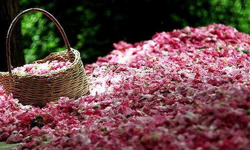 thi tran hoa hong damask