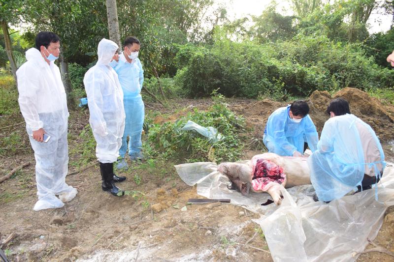 Thừa Thiên - Huế: Phát hiện ổ dịch tả lợn châu Phi đầu tiên