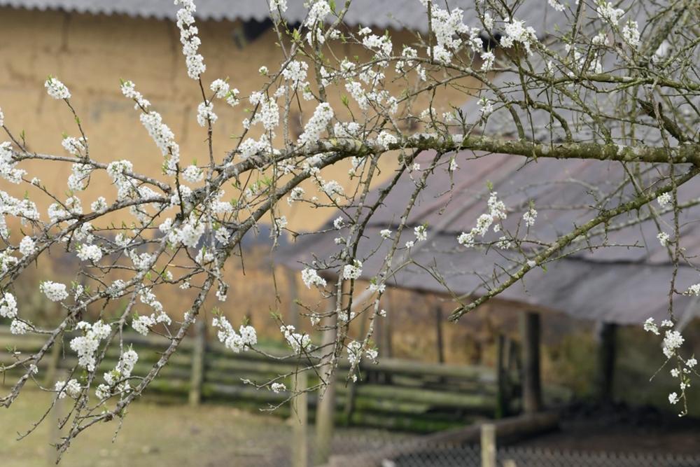 chiem nguong ve dep cua hoa man tren cao nguyen bac ha