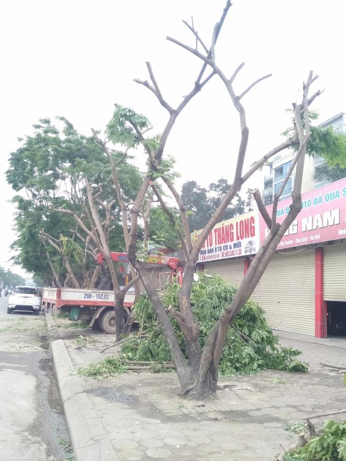 Hà Nội: Chặt hạ nhiều cây sưa để xây dựng nút giao cầu vượt Hoàng Quốc Việt - Nguyễn Văn Huyên