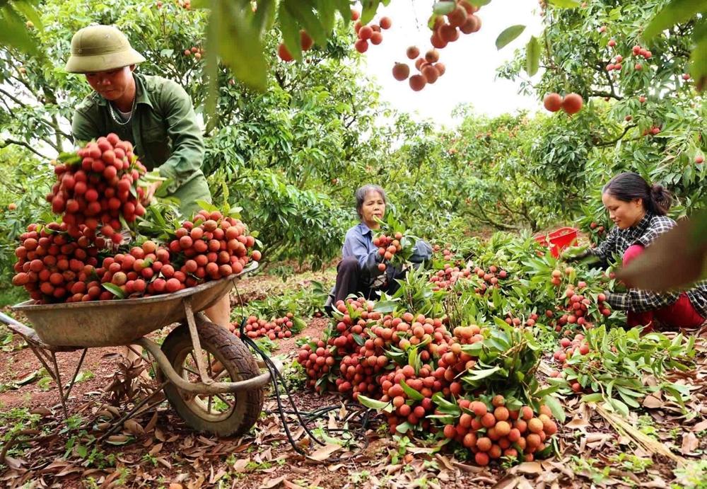 Gỡ khó thúc đẩy xuất khẩu quả vải tươi lần đầu sang Nhật Bản