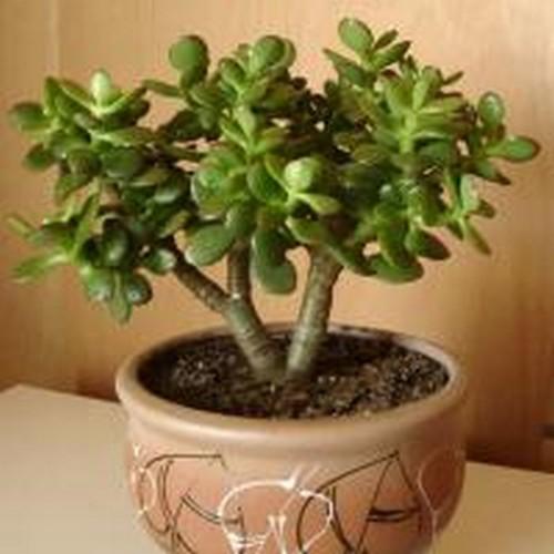картинки дерево счастья топиарий