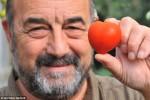 Độc đáo trái cà chua hình trái tim