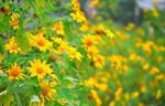 Ba điểm 'săn' hoa dã quỳ hot nhất mùa thu năm nay