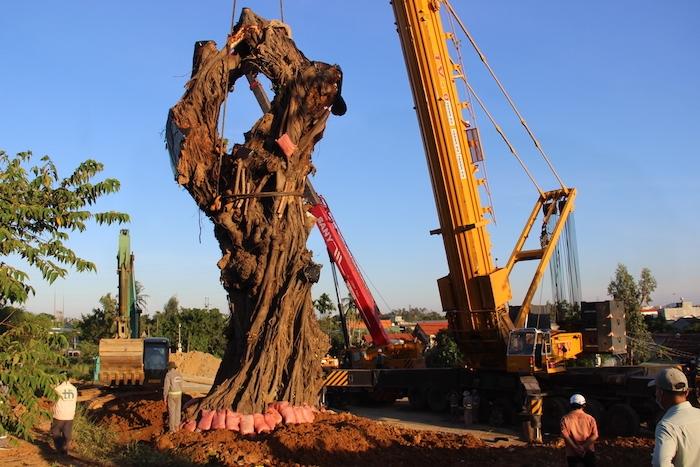Quảng Ngãi: Huy động cẩu trăm tấn để trồng lại cây đa trăm tuổi