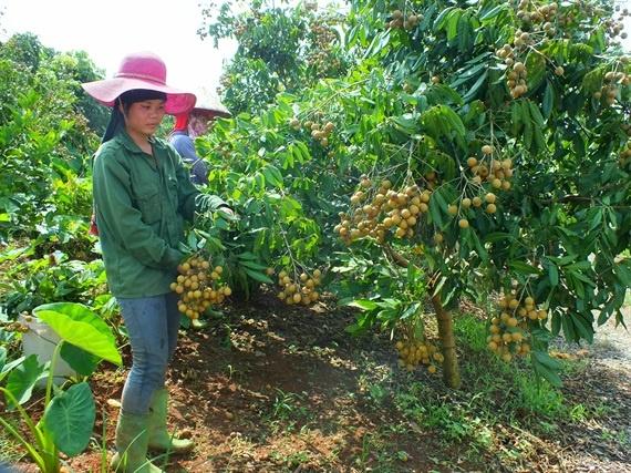 Chương trình 'Mỗi xã một sản phẩm': Nâng tầm nông sản Sơn La