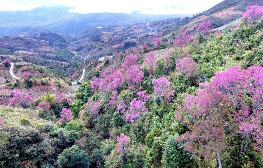 Rực rỡ sắc hoa đào rừng ở vùng rẻo cao Tây Bắc Mù Cang Chải