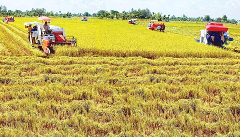 Day dứt với người trồng lúa