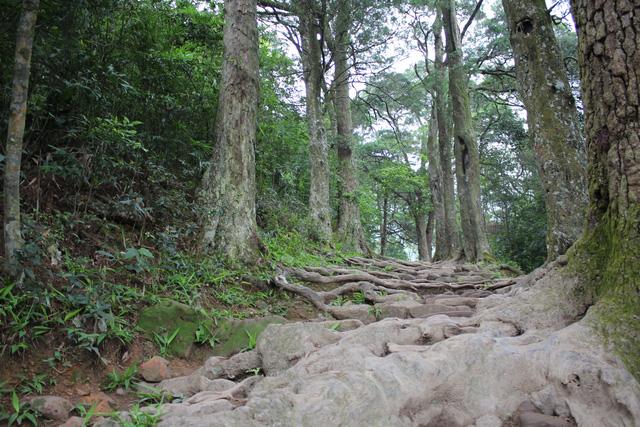 Quảng Ninh, Yên Tử đang tìm cách cứu rừng Xích Tùng cổ quý. Trong ảnh là đường Tùng, Yên Tử, nơi tập trung nhiều cây Xích Tùng cổ.