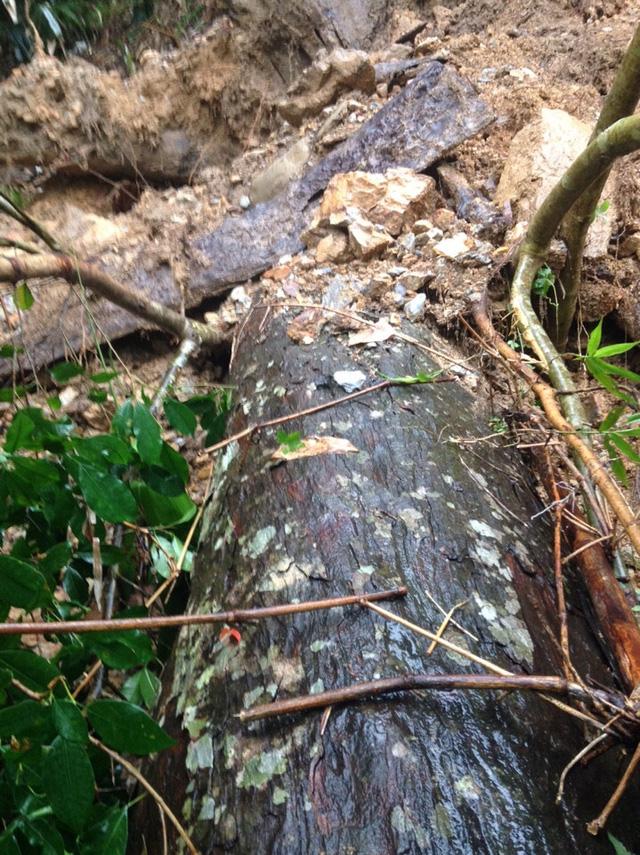 Cây Xích Tùng 700 tuổi bị bão số 1 quật đổ.