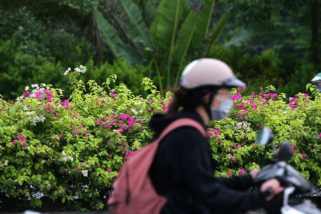Con đường hoa giấy hiếm có ở Hà Nội
