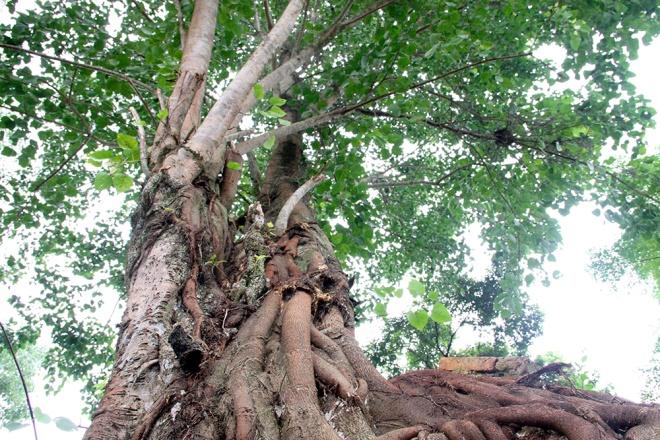Kết quả hình ảnh cho cây bồ đề đại thụ