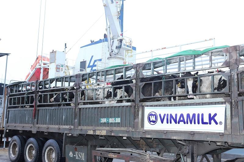 Vinamilk tiếp tục nhập hơn 1.600 con bò sữa HF và A2 từ Mỹ cho trang trại thứ 12 tại Việt Nam