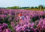 Cuối tuần dạo chơi thảo nguyên hoa bạt ngàn giữa lòng Hà Nội