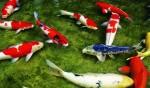 Những điều cần biết khi chơi cá Chép cảnh