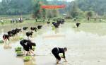 Đến Lễ hội Lồng Tồng xem thi cấy lúa