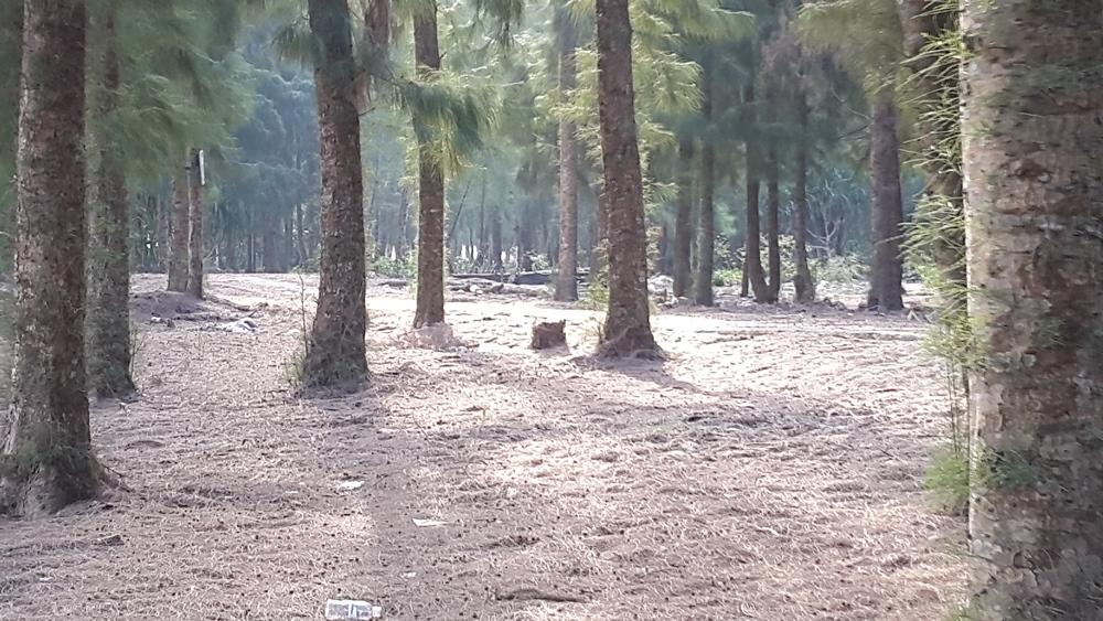 Quảng Ninh: Chuyển hướng trồng rừng sang trồng cây thân to