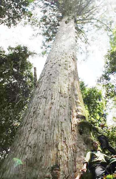 Thanh Hóa: Hai cây pơ mu, sa mu nghìn năm tuổi đón bằng di sản Việt Nam