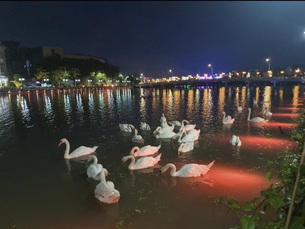 Hồng Bàng (Hải Phòng): Những con thiên nga trên dòng sông Tam Bạc hiện giờ ra sao?