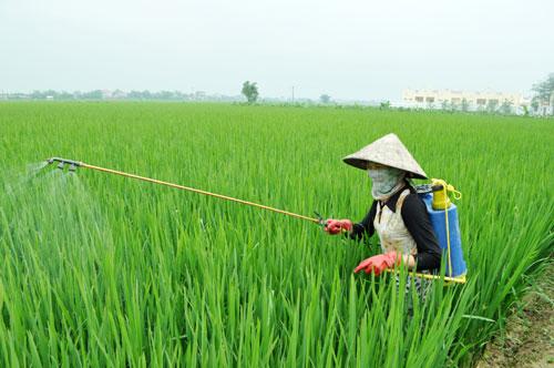 Có được nhận chuyển nhượng quyền sử dụng đất trồng lúa?