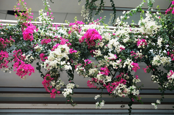 Kết quả hình ảnh cho hoa giấy singapore