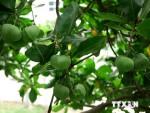 Cây ở quần đảo Trường Sa lọt vào danh sách Cây Di sản Việt Nam