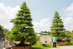 Những cây kiểng bạc tỷ nổi tiếng ở miền Tây