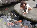 Ngôi làng cá koi sống dưới rãnh nước ở Nhật Bản