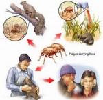 Chủ động phòng bệnh dịch hạch