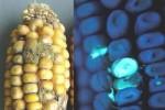 Cảnh báo lạc, gạo mốc chứa chất cực độc gây ung thư gan