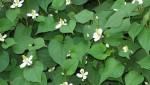 Làm đẹp da từ hoa cỏ quanh nhà