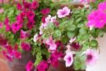 Những loại hoa trồng ở ban công cho mùa đông thêm ấm áp