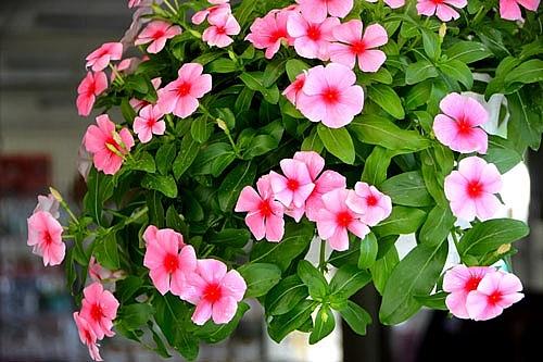 nhung loai hoa giup xua tan lanh gia cho ban cong trong mua dong