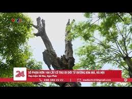 Sau 4 năm, số phận của hơn 100 cây cổ thụ được di dời trên đường Kim Mã giờ ra sao?