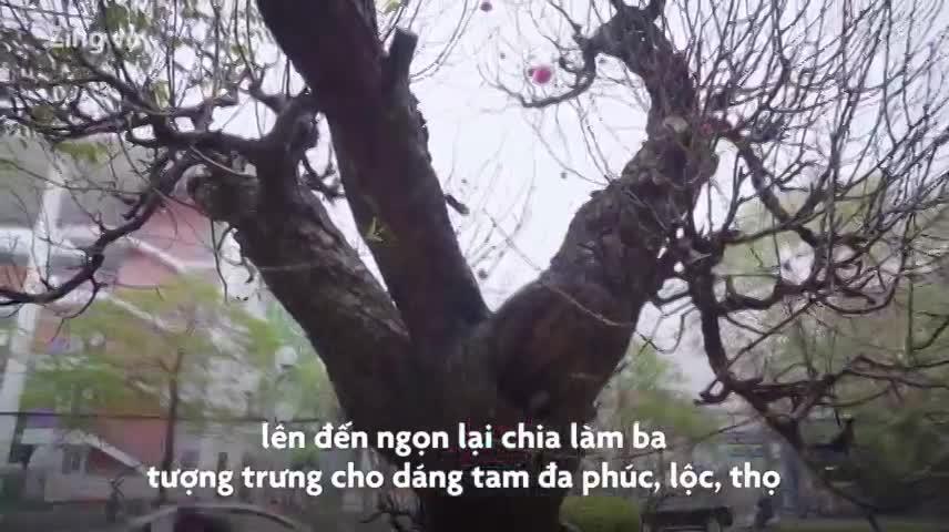 Đào rừng hơn trăm tuổi được