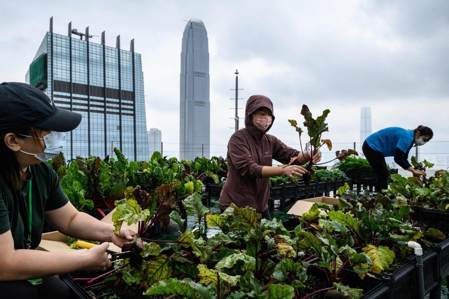 Trồng rau sạch trên nóc nhà cao tầng ở Hong Kong