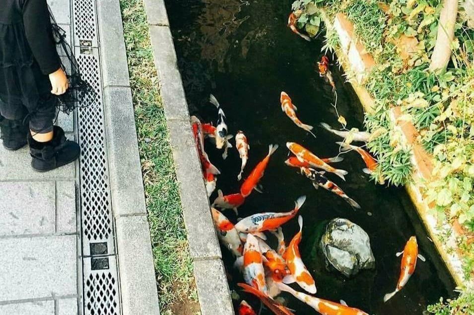 Cá Koi bơi lội dưới cống nước thành phố ở Nhật Bản